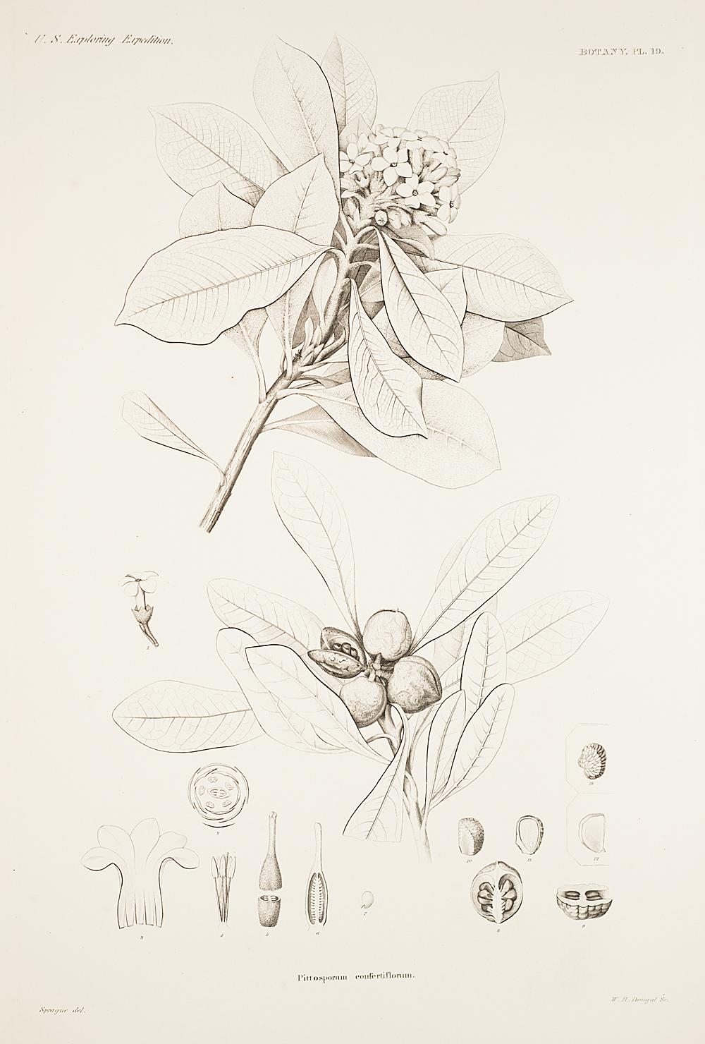 Botany, Pl. 19,  Image number:sil19-23-049b