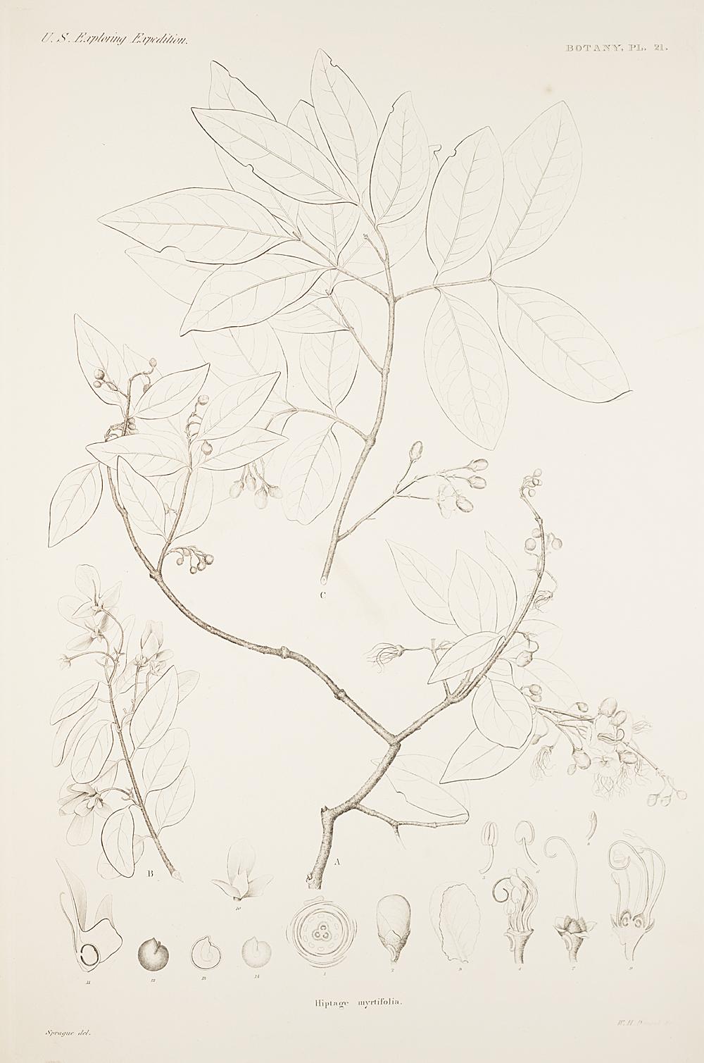 Botany, Pl. 21,  Image number:sil19-23-053b