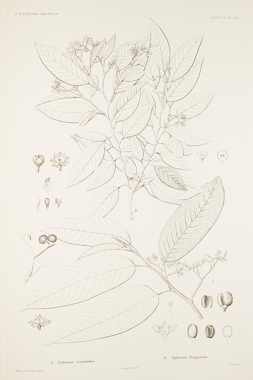 Botany, Pl. 22,  Image number:sil19-23-055b