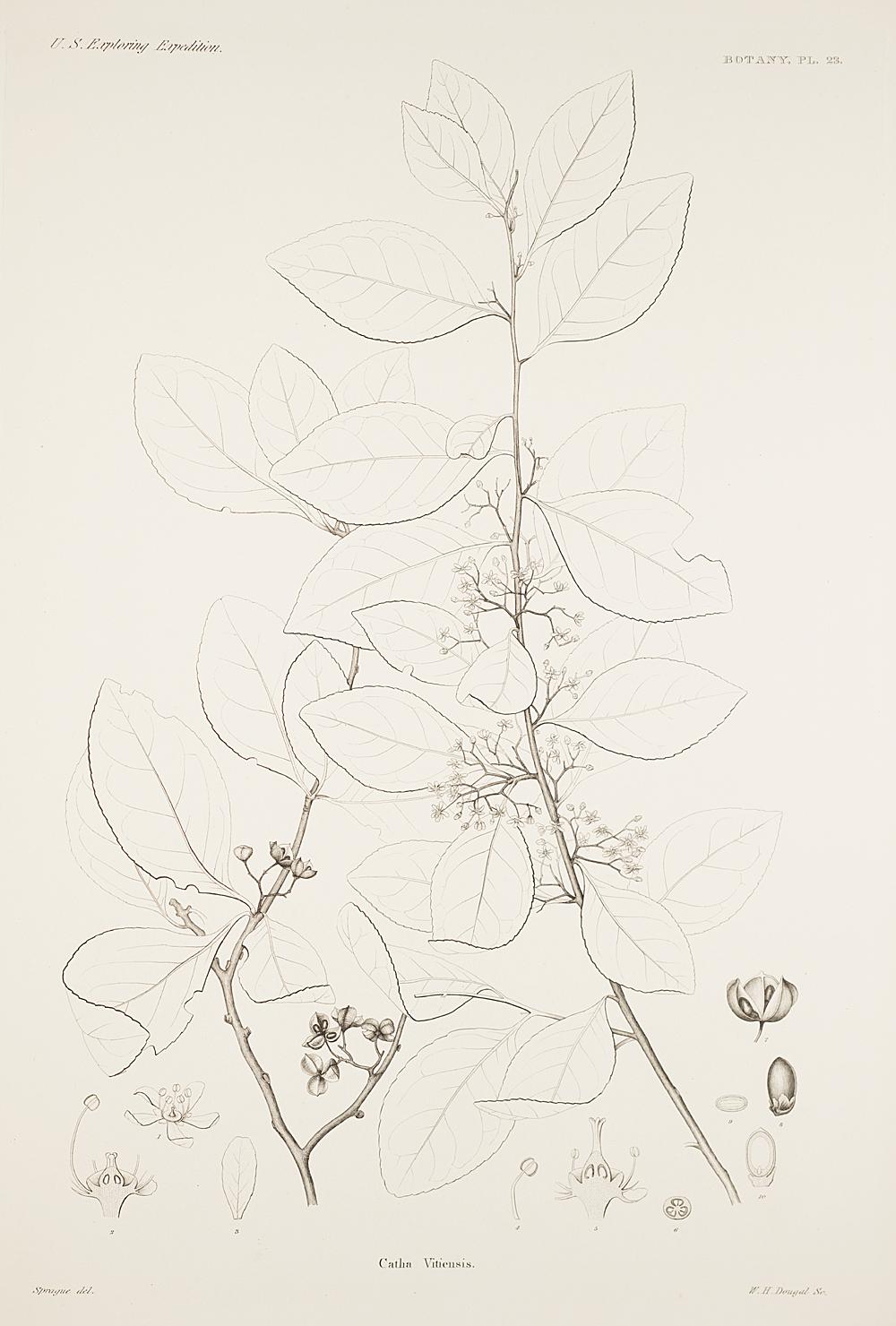 Botany, Pl. 23,  Image number:sil19-23-057b