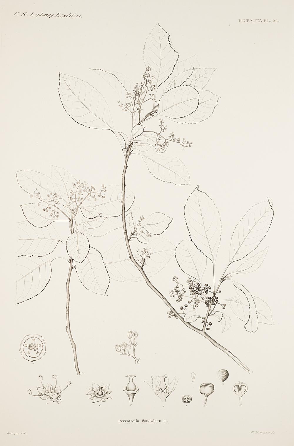 Botany, Pl. 24,  Image number:sil19-23-059b