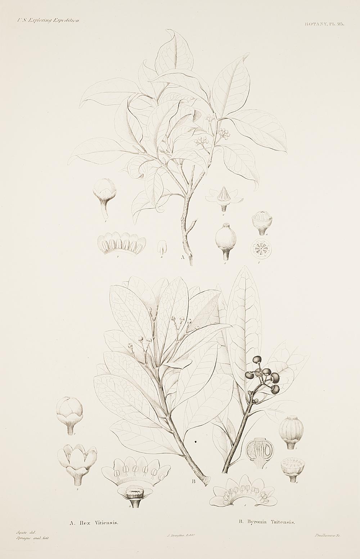 Botany, Pl. 25,  Image number:sil19-23-061b