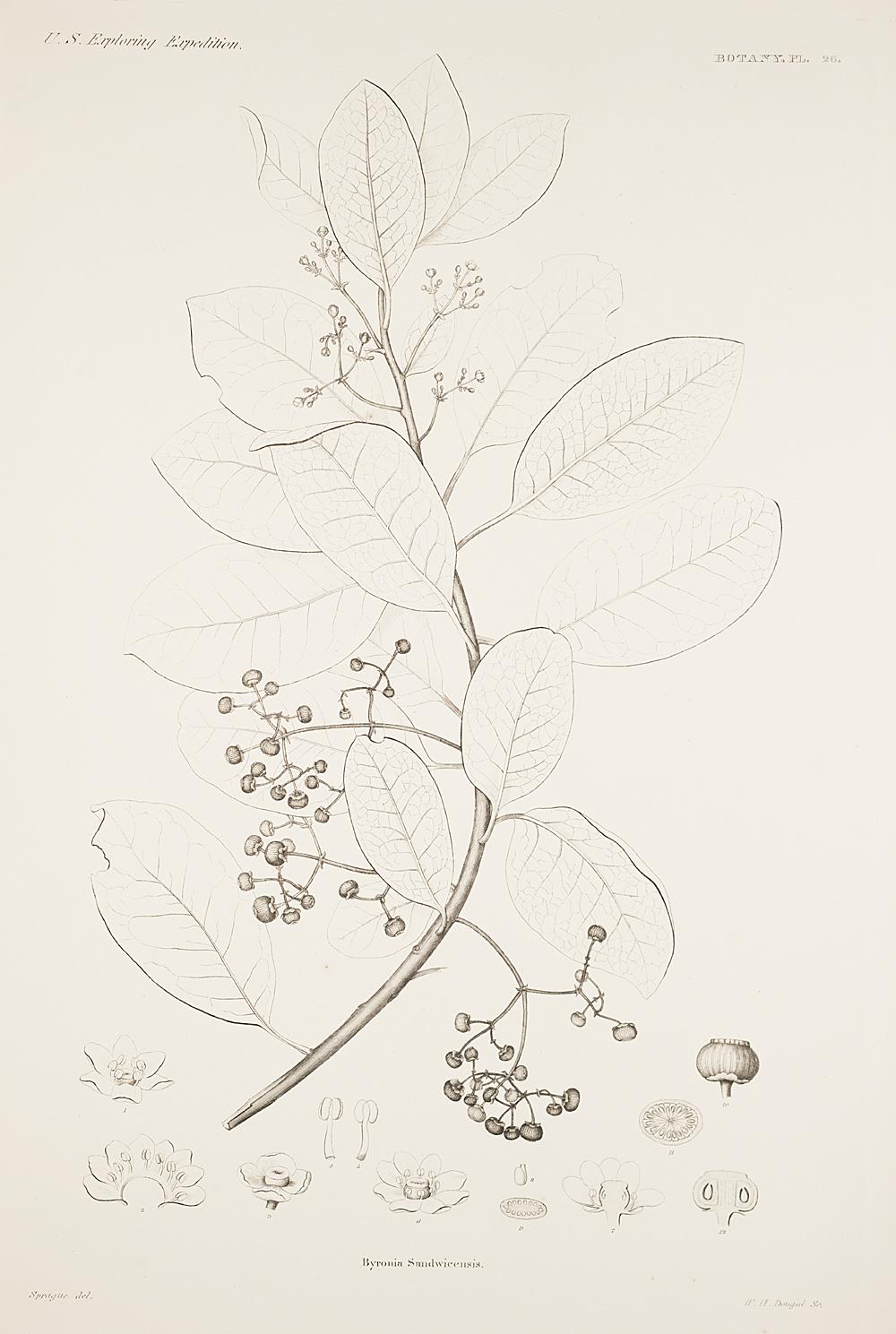 Botany, Pl. 26,  Image number:sil19-23-063b