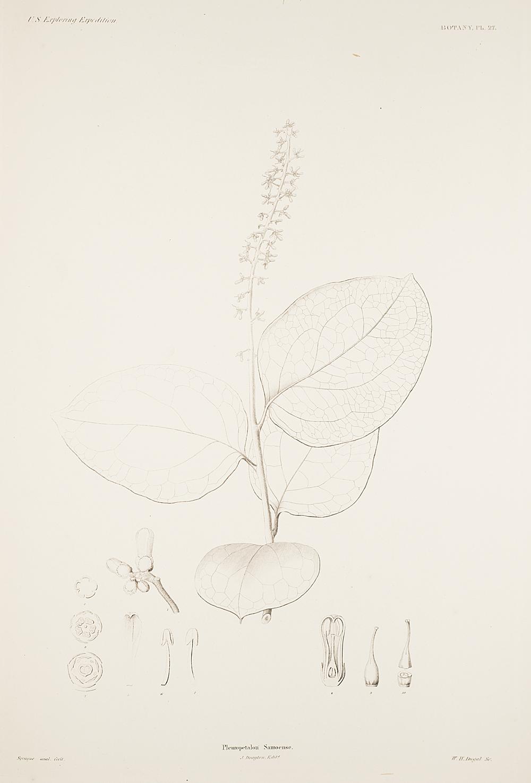 Botany, Pl. 27,  Image number:sil19-23-065b
