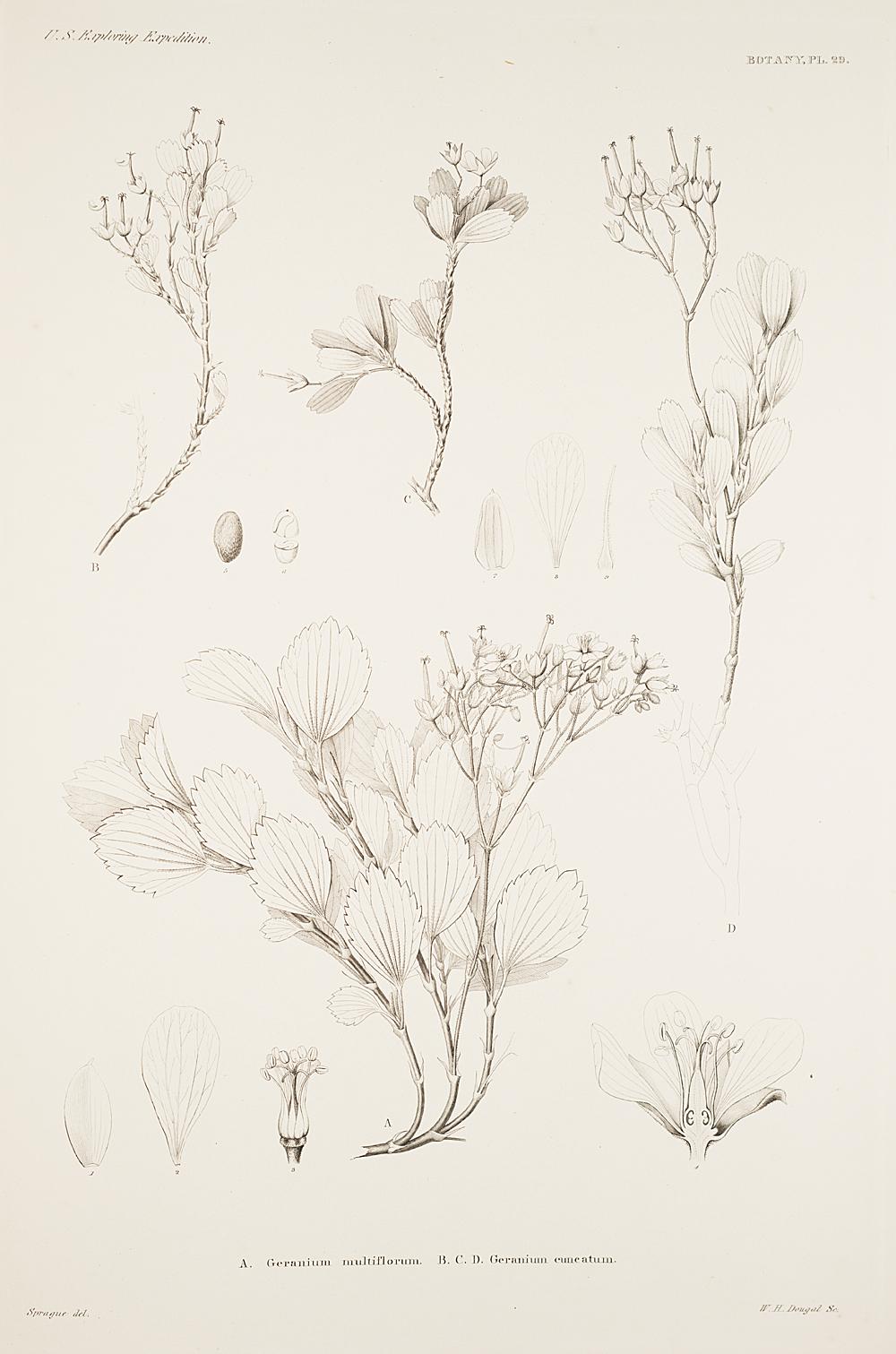Botany, Pl. 29,  Image number:sil19-23-069b