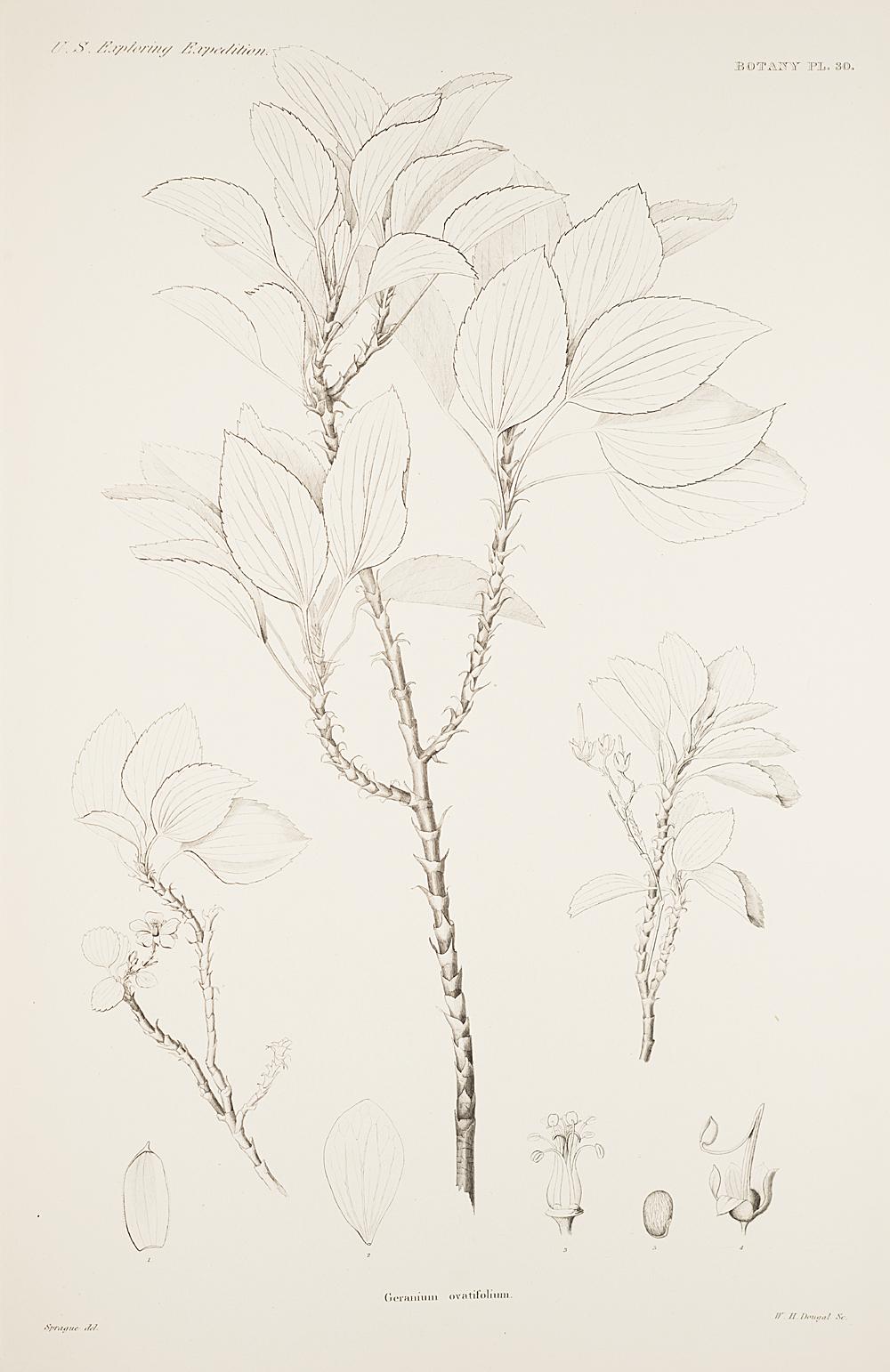 Botany, Pl. 30,  Image number:sil19-23-071b