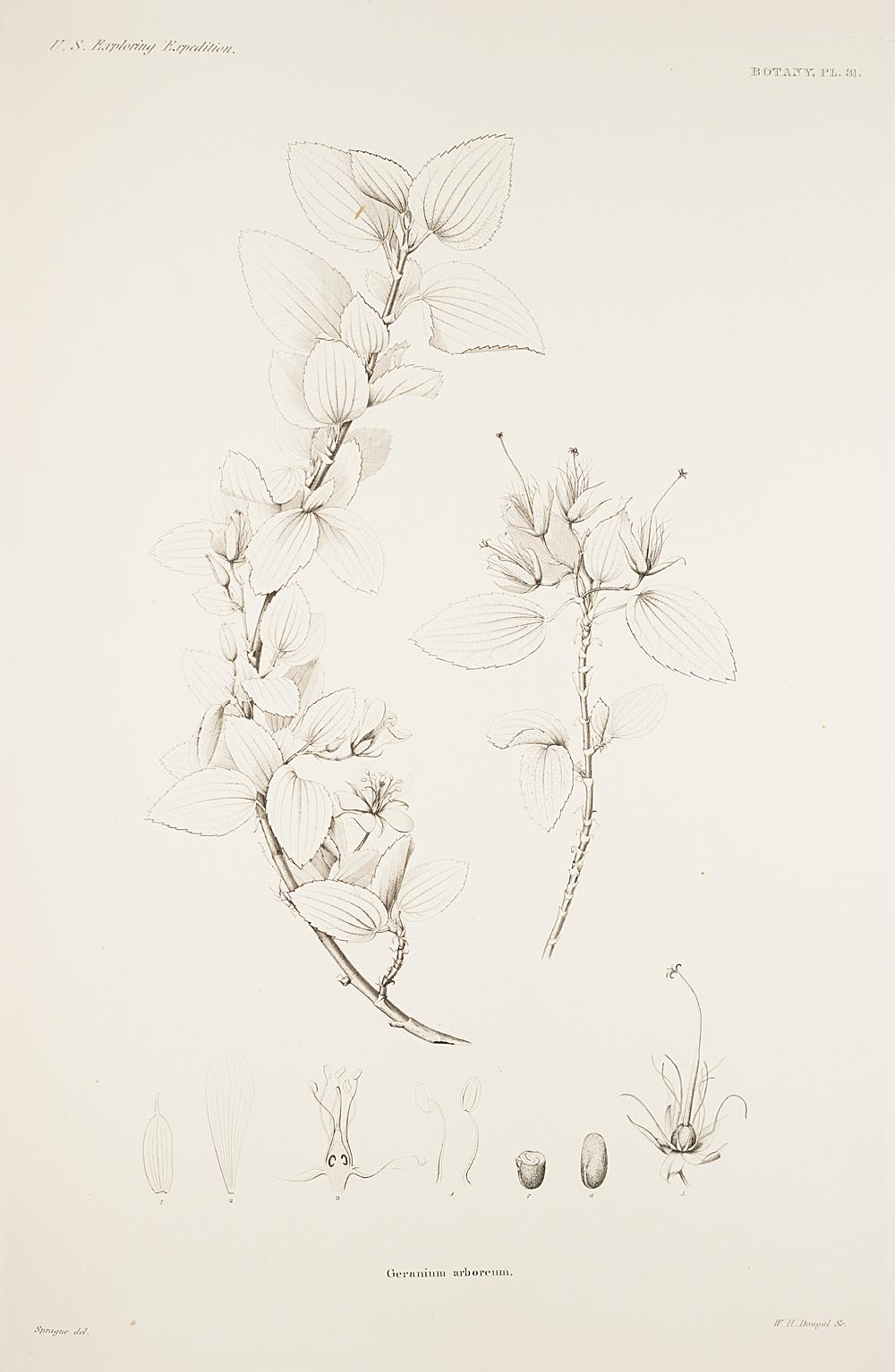 Botany, Pl. 31,  Image number:sil19-23-073b