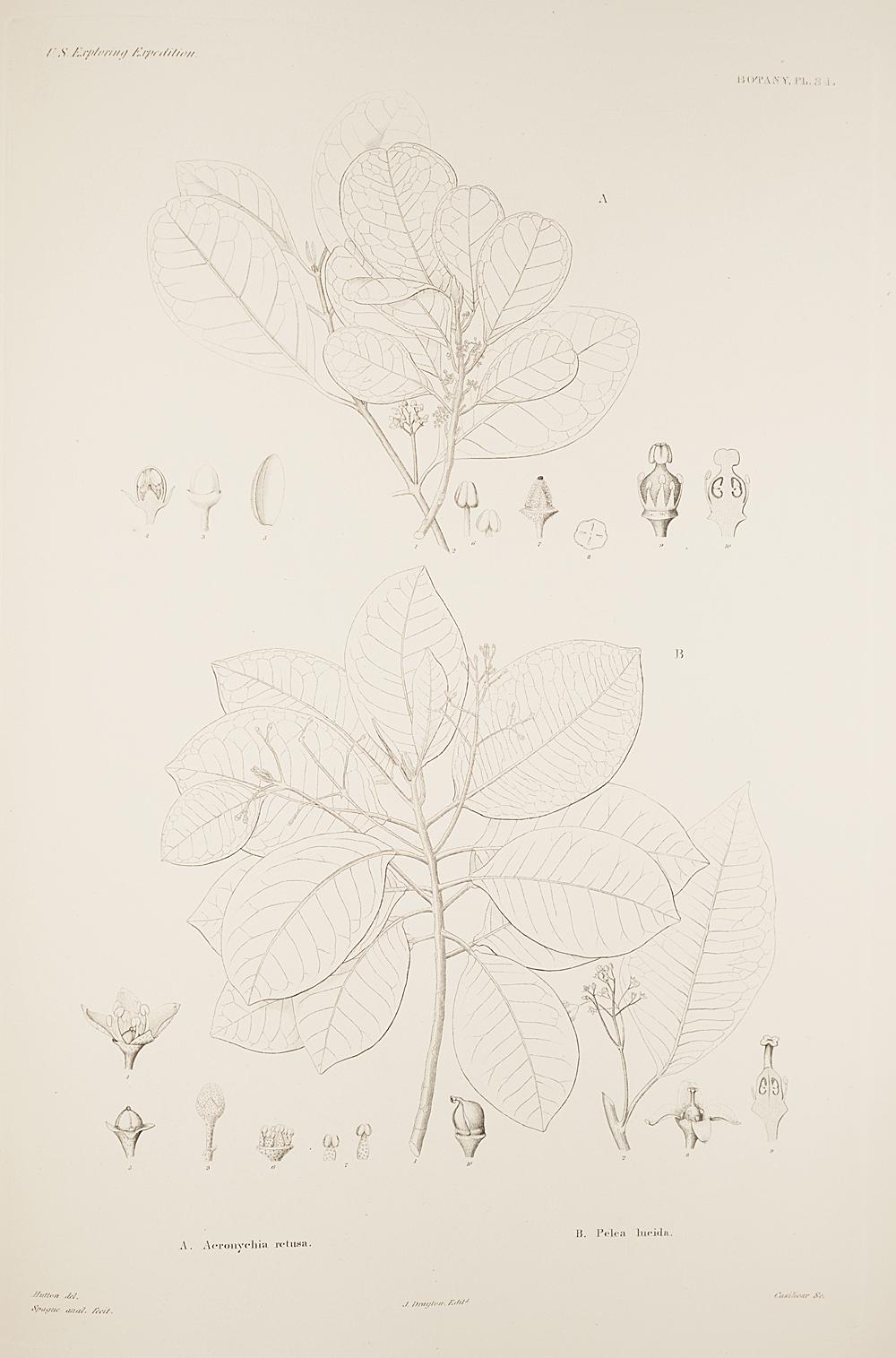 Botany, Pl. 34,  Image number:sil19-23-079b