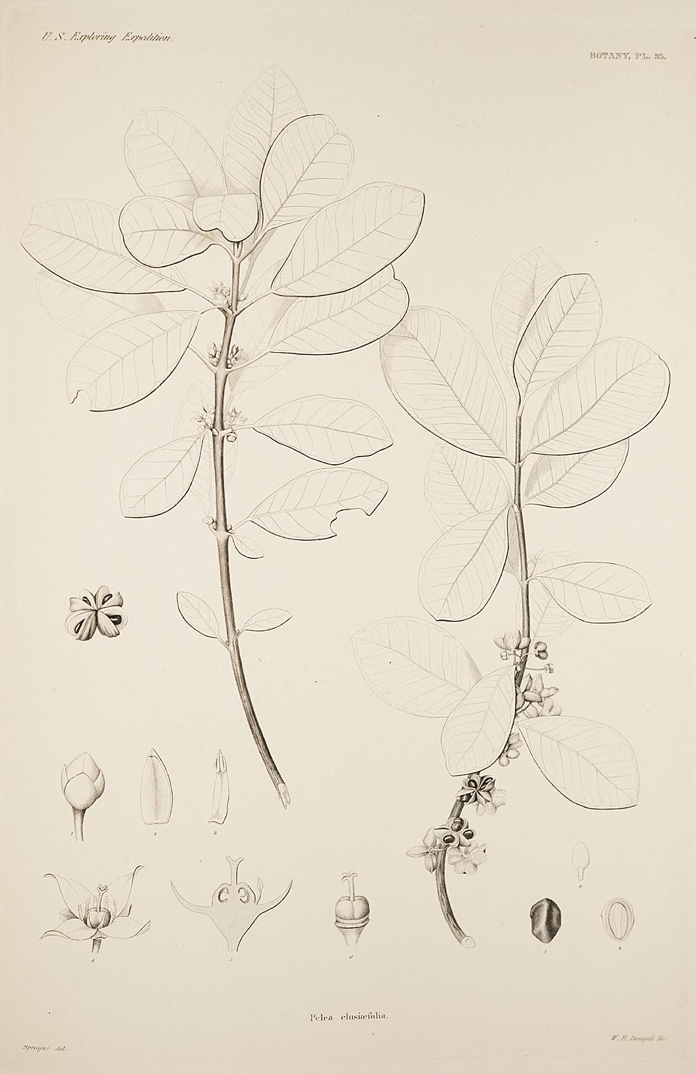 Botany, Pl. 35,  Image number:sil19-23-081b