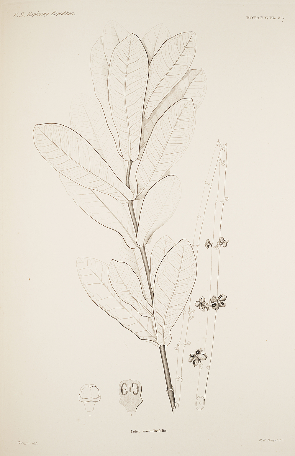 Botany, Pl. 36,  Image number:sil19-23-083b