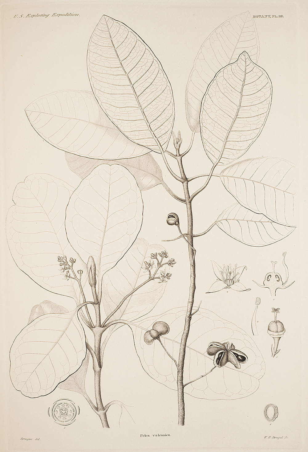 Botany, Pl. 38,  Image number:sil19-23-087b