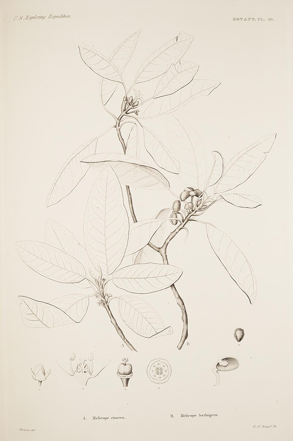 Botany, Pl. 39,  Image number:sil19-23-089b