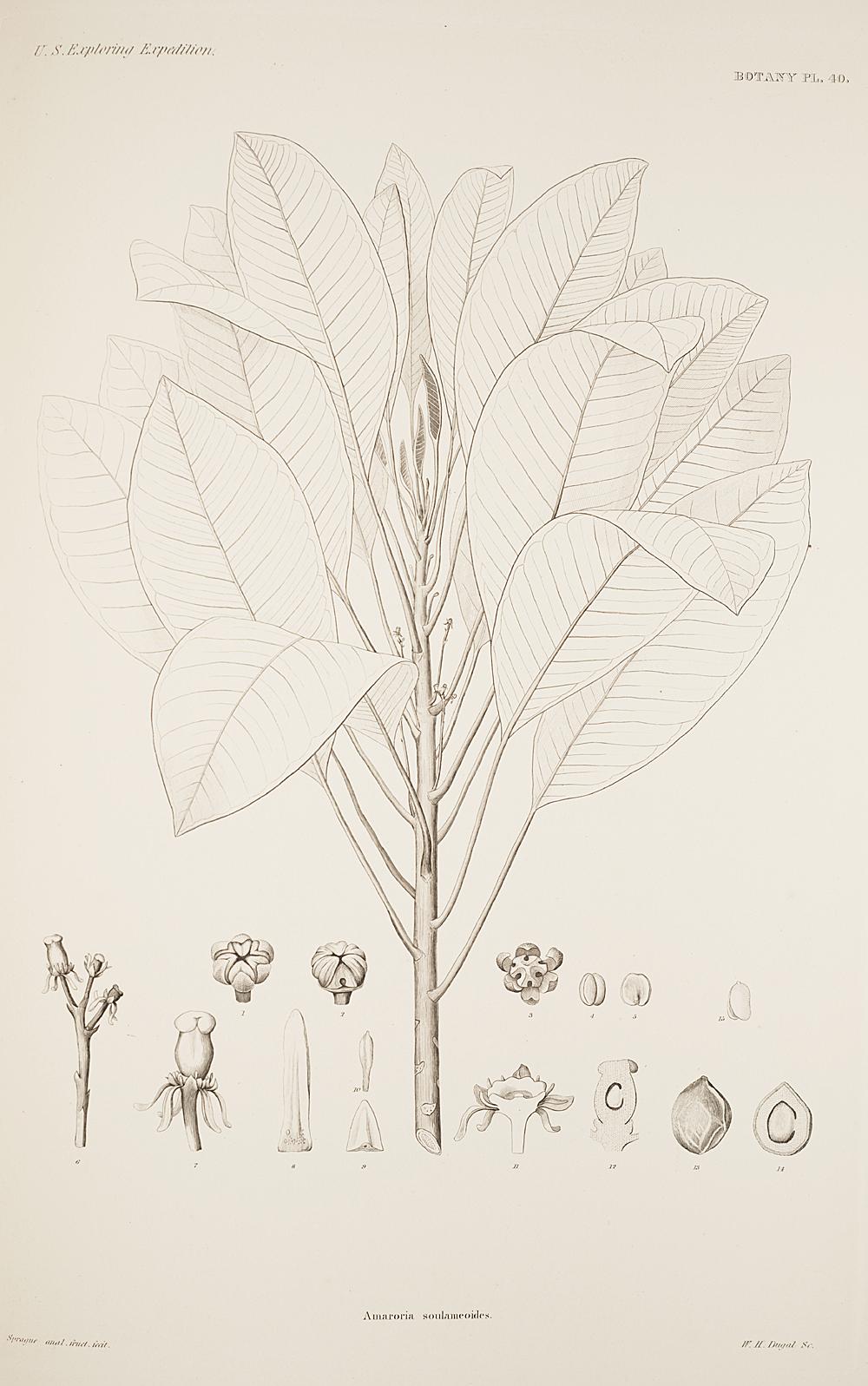 Botany, Pl. 40,  Image number:sil19-23-091b
