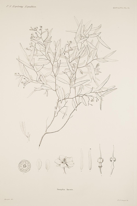Botany, Pl. 41,  Image number:sil19-23-093b