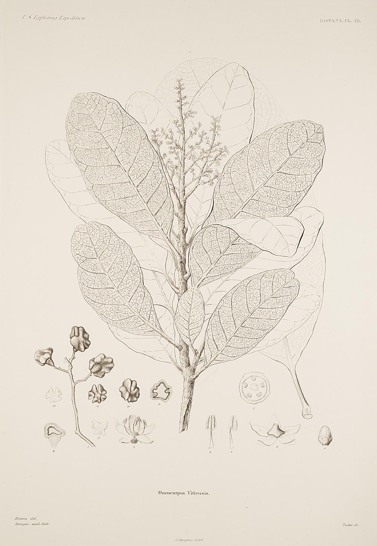 Botany, Pl. 43,  Image number:sil19-23-097b