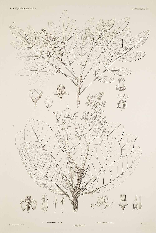 Botany, Pl. 44,  Image number:sil19-23-099b