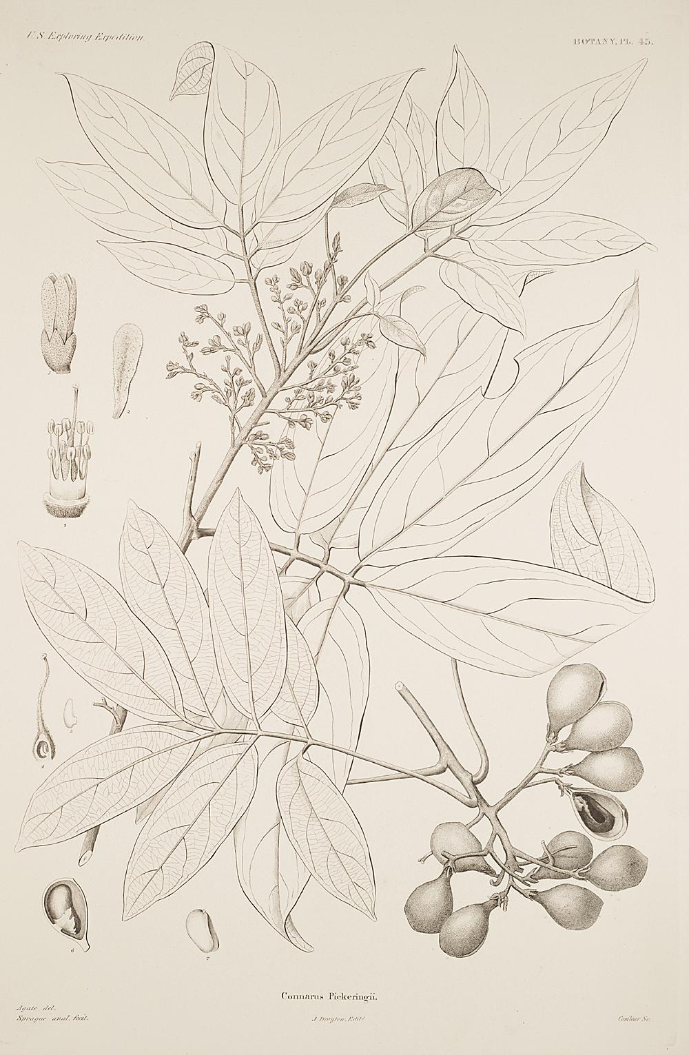 Botany, Pl. 45,  Image number:sil19-23-101b