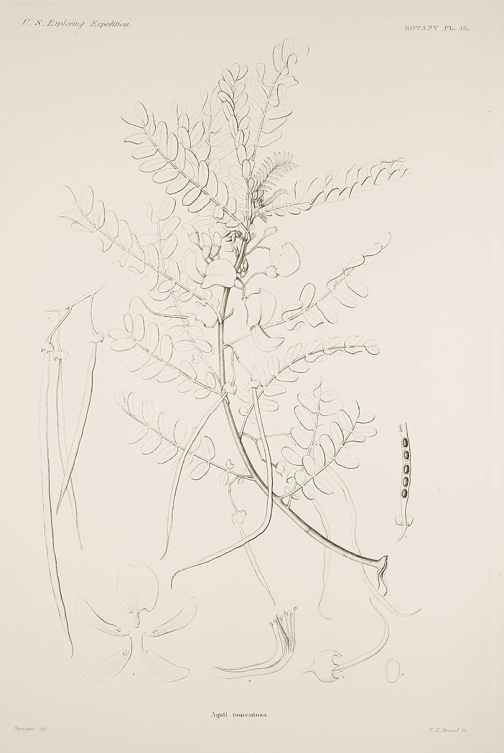 Botany, Pl. 46,  Image number:sil19-23-103b