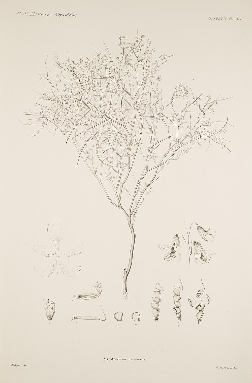 Botany, Pl. 47,  Image number:sil19-23-105b