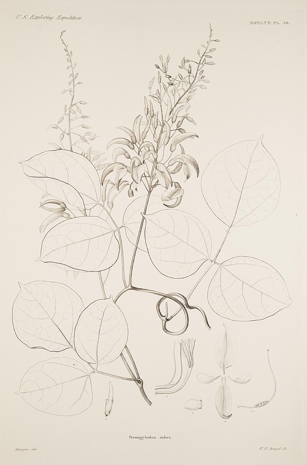 Botany, Pl. 48,  Image number:sil19-23-107b