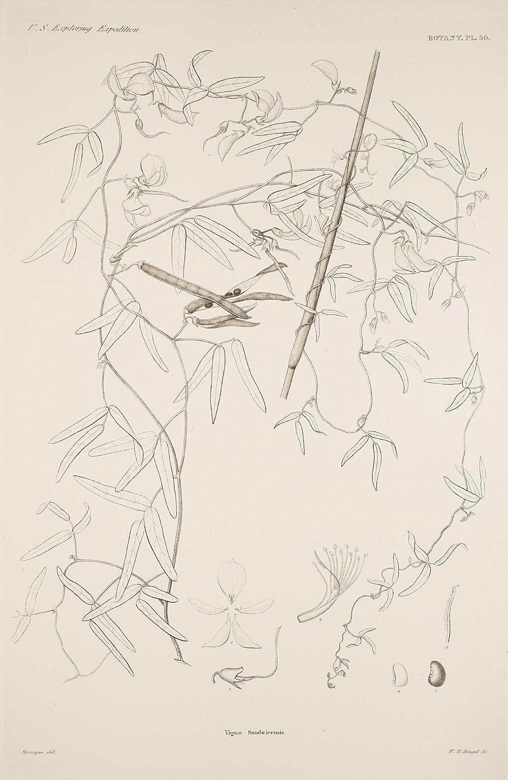 Botany, Pl. 50,  Image number:sil19-23-111b