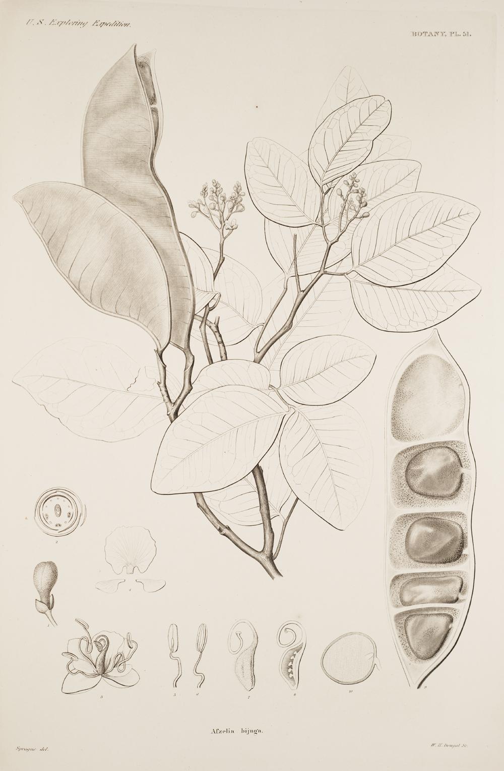 Botany, Pl. 51,  Image number:sil19-23-113b