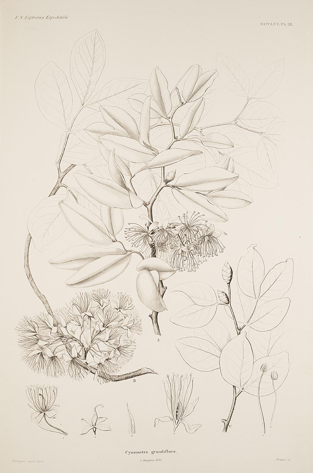 Botany, Pl. 52,  Image number:sil19-23-115b