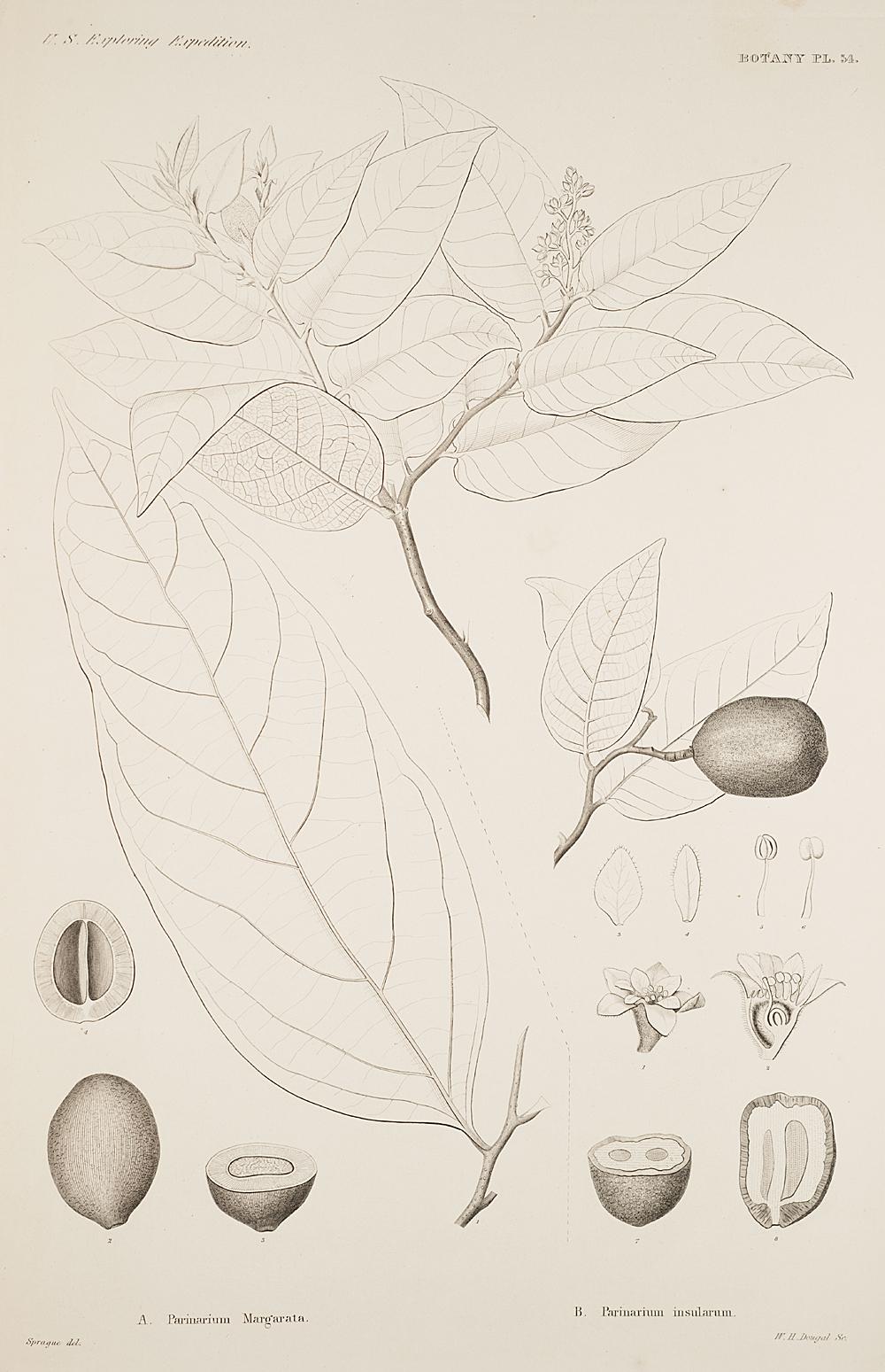Botany, Pl. 54,  Image number:sil19-23-119b