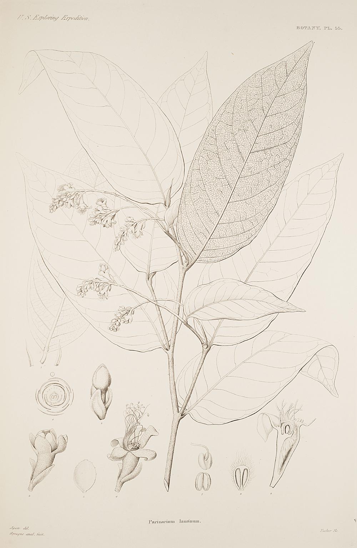 Botany, Pl. 55,  Image number:sil19-23-121b