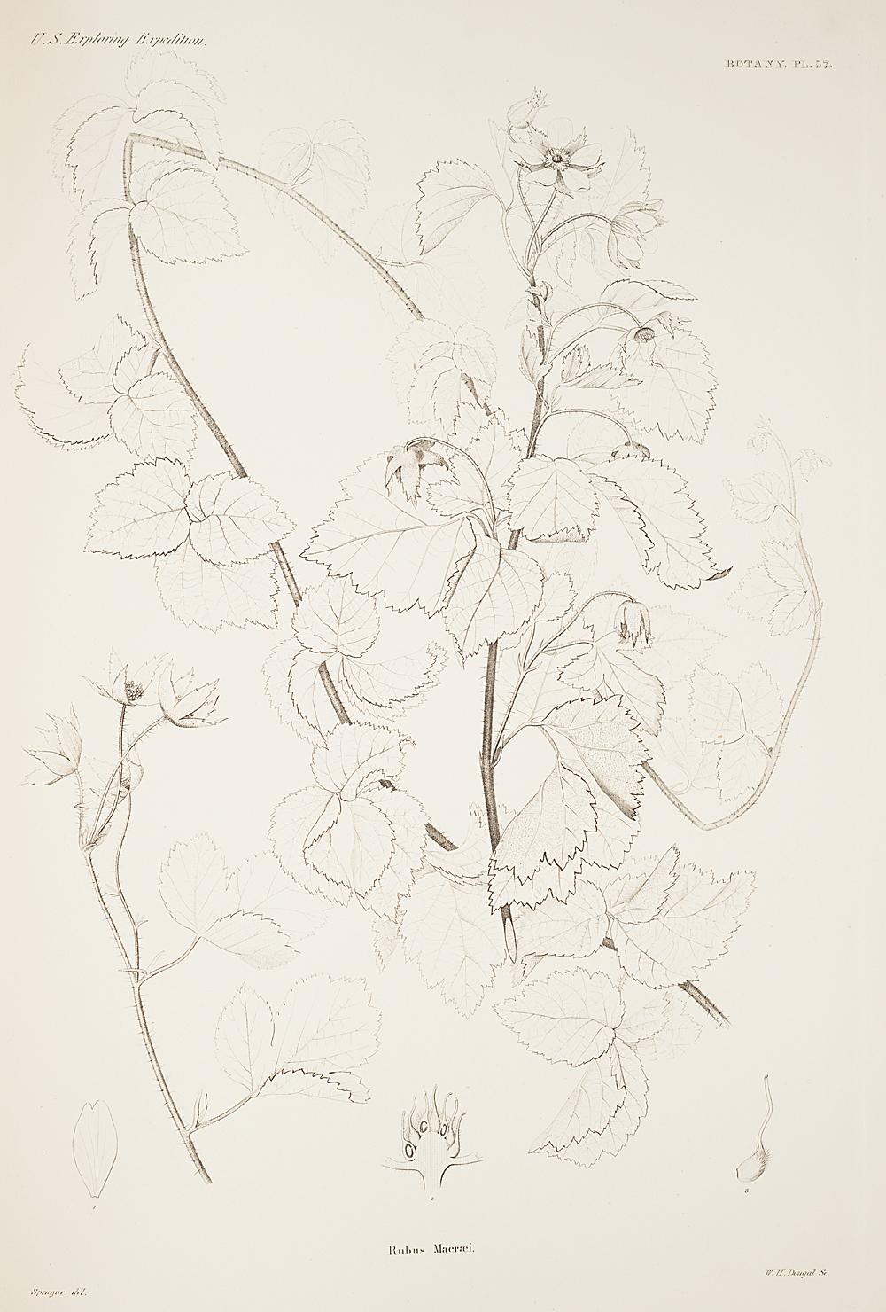 Botany, Pl. 57,  Image number:sil19-23-125b
