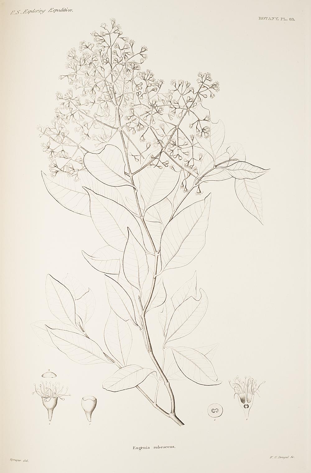 Botany, Pl. 63,  Image number:sil19-23-137b
