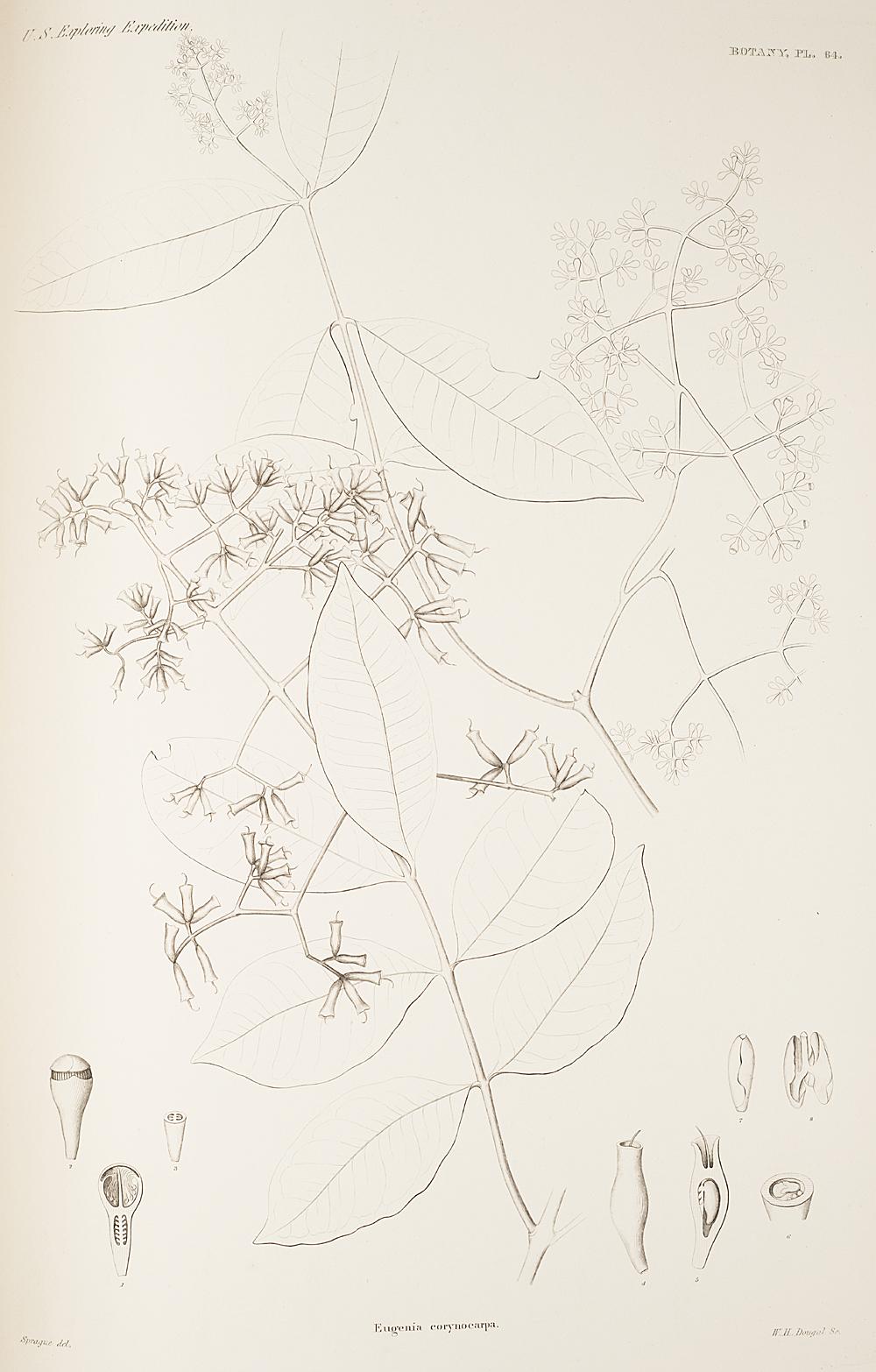 Botany, Pl. 64,  Image number:sil19-23-139b
