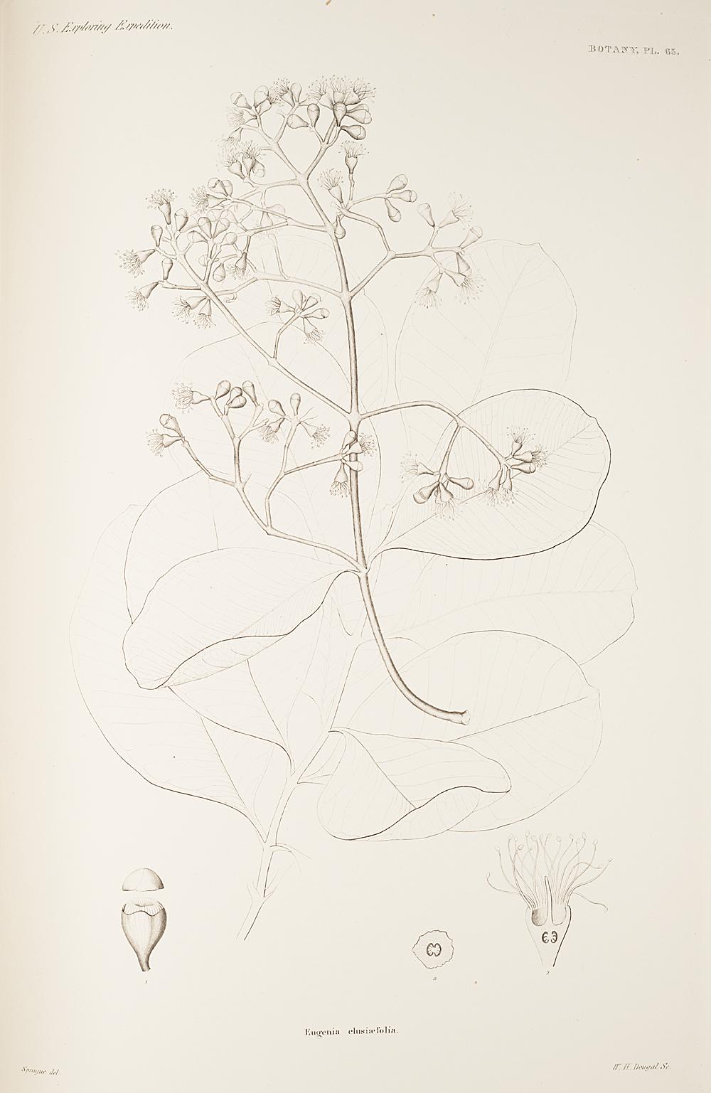 Botany, Pl. 65,  Image number:sil19-23-141b