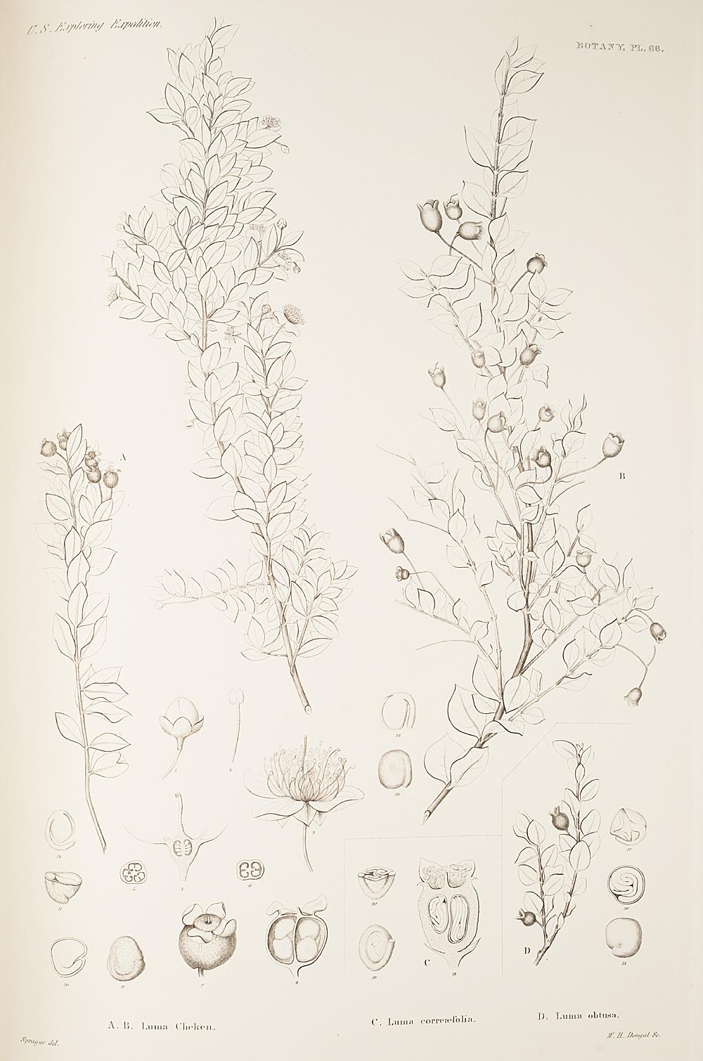 Botany, Pl. 66,  Image number:sil19-23-143b