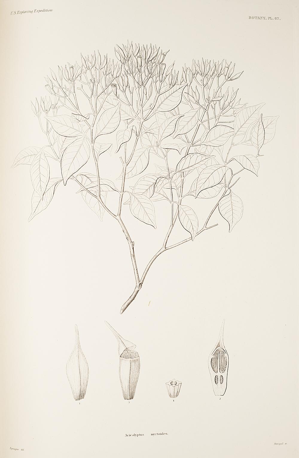 Botany, Pl. 67,  Image number:sil19-23-145b