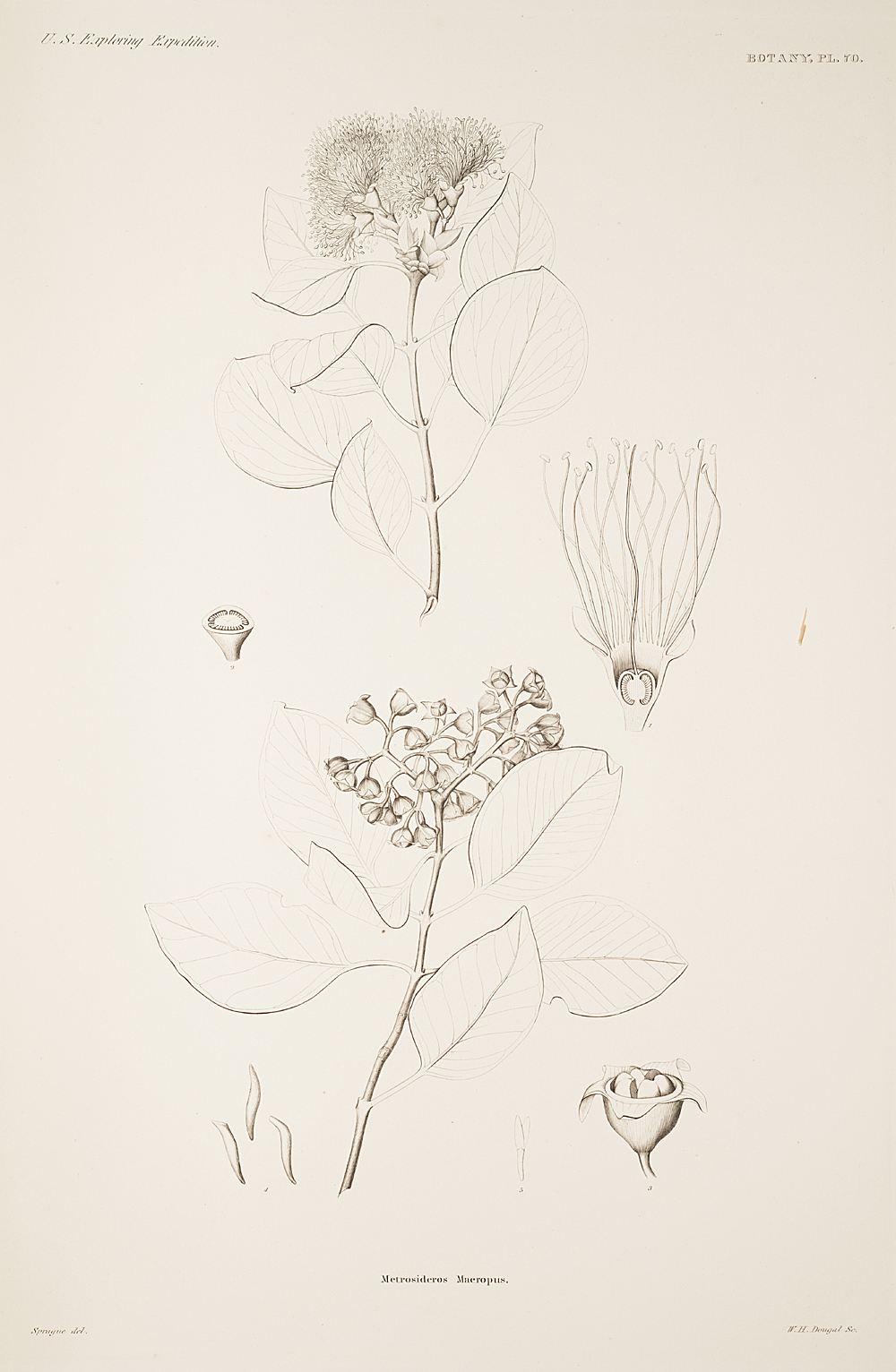 Botany, Pl. 70,  Image number:sil19-23-151b