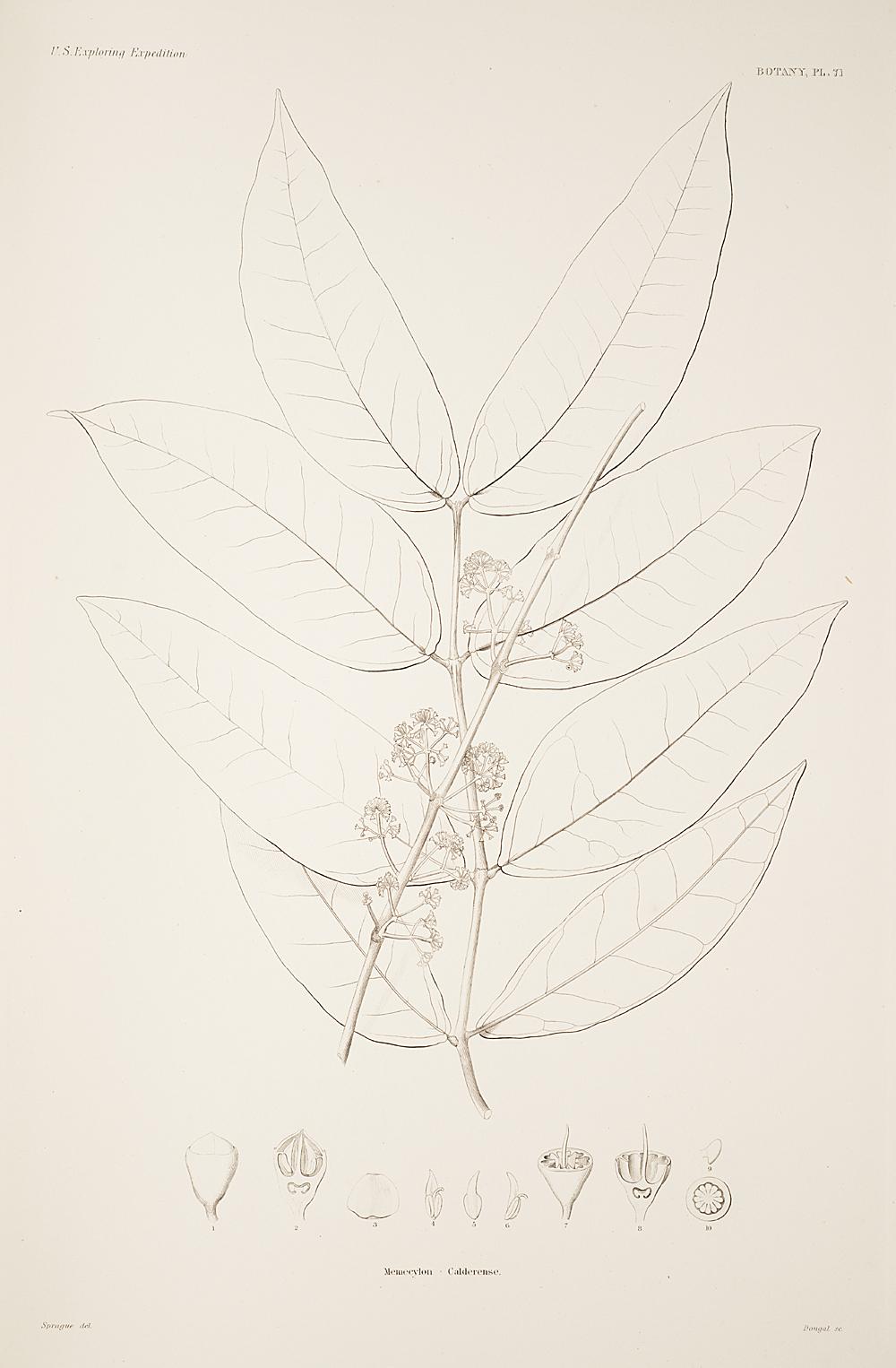 Botany, Pl. 71,  Image number:sil19-23-153b