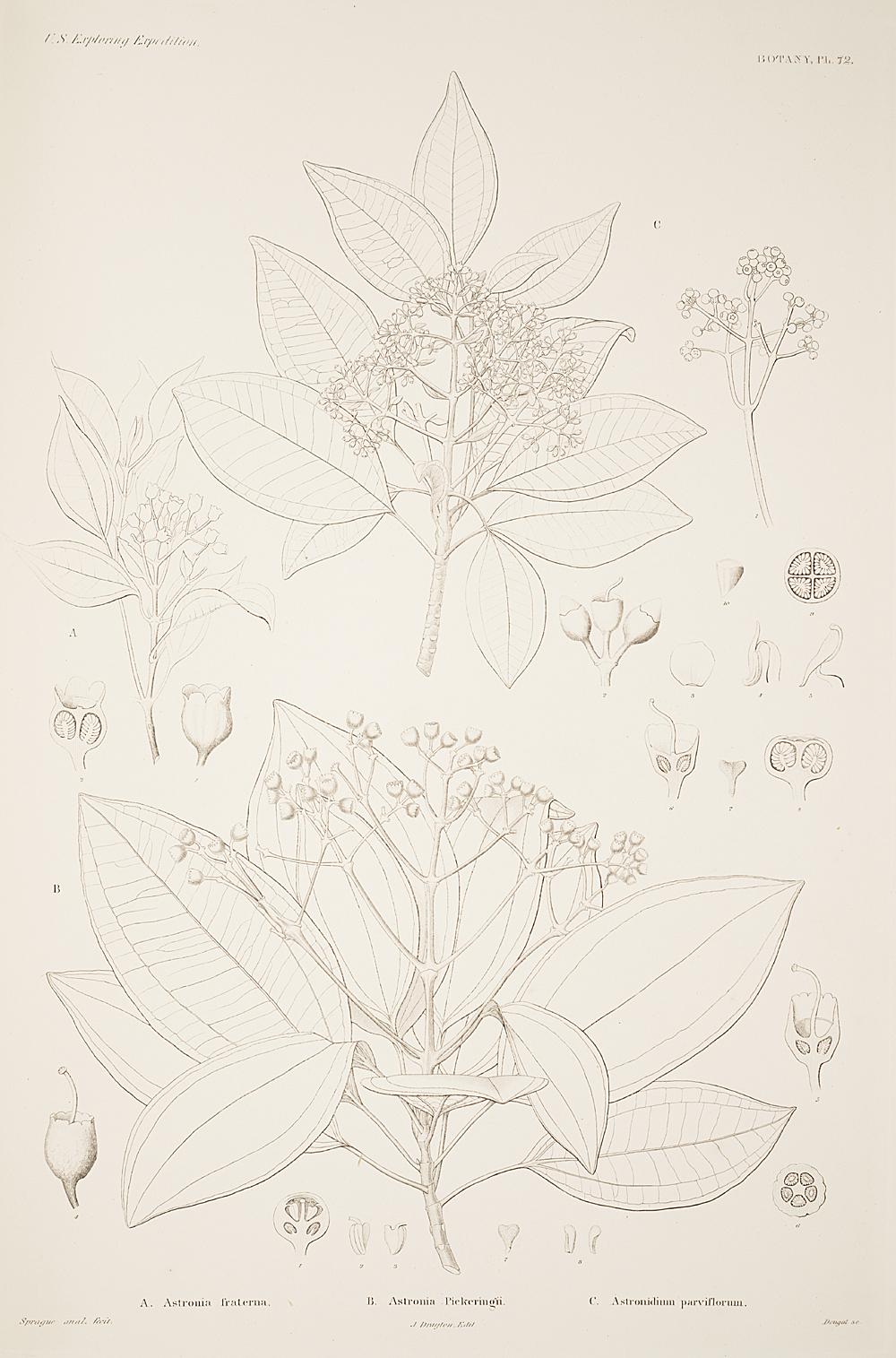 Botany, Pl. 72,  Image number:sil19-23-155b