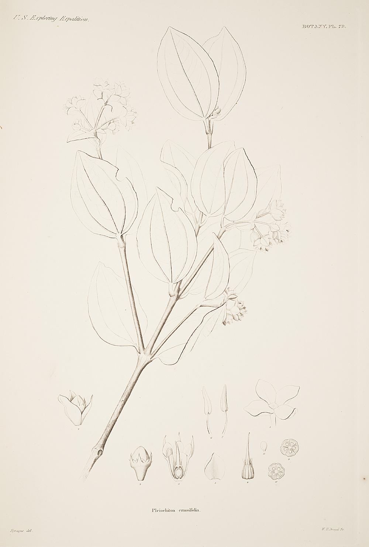 Botany, Pl. 73,  Image number:sil19-23-157b