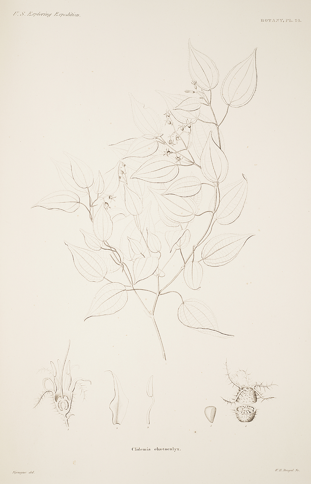 Botany, Pl. 74,  Image number:sil19-23-159b