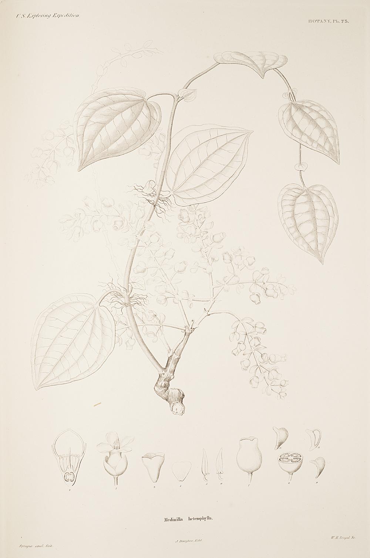 Botany, Pl. 75,  Image number:sil19-23-161b