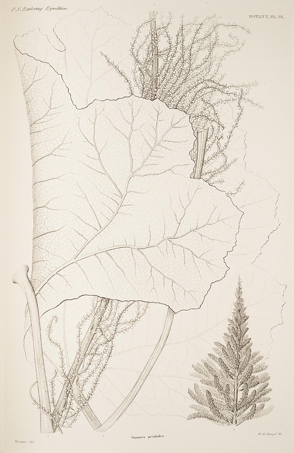 Botany, Pl. 78,  Image number:sil19-23-167b