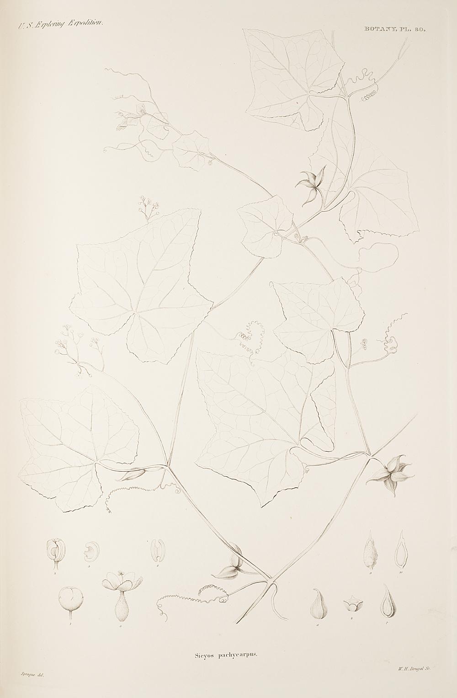 Botany, Pl. 80,  Image number:sil19-23-171b