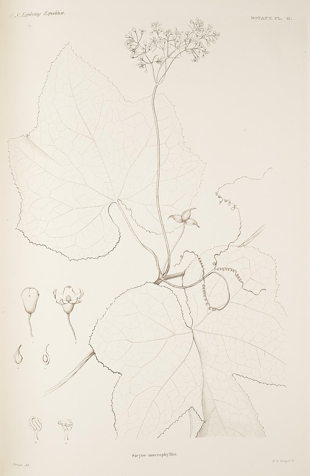 Botany, Pl. 81,  Image number:sil19-23-173b
