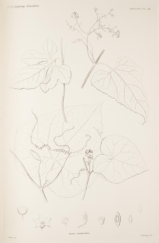 Botany, Pl. 82,  Image number:sil19-23-175b