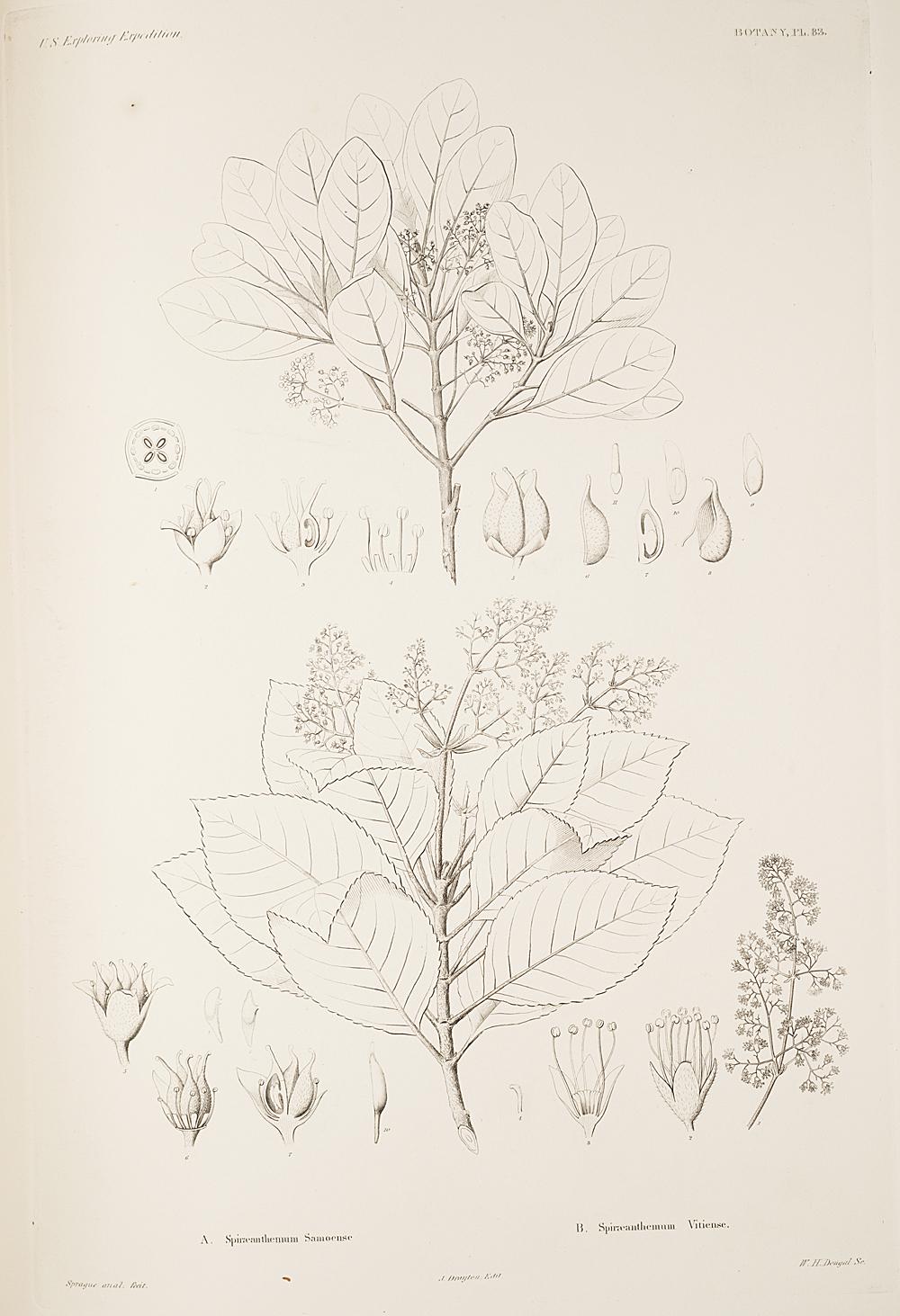 Botany, Pl. 83,  Image number:sil19-23-177b