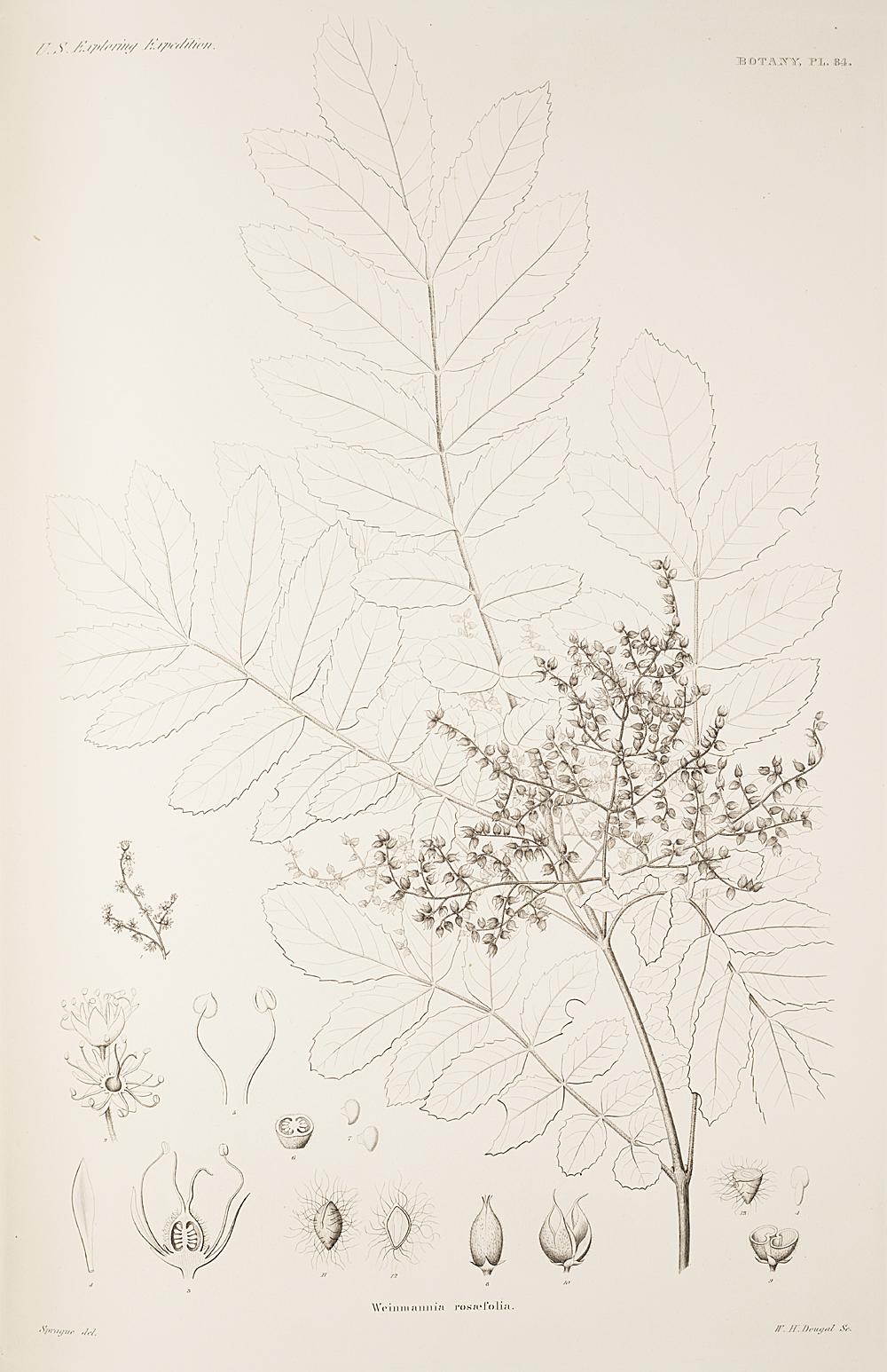 Botany, Pl. 84,  Image number:sil19-23-179b