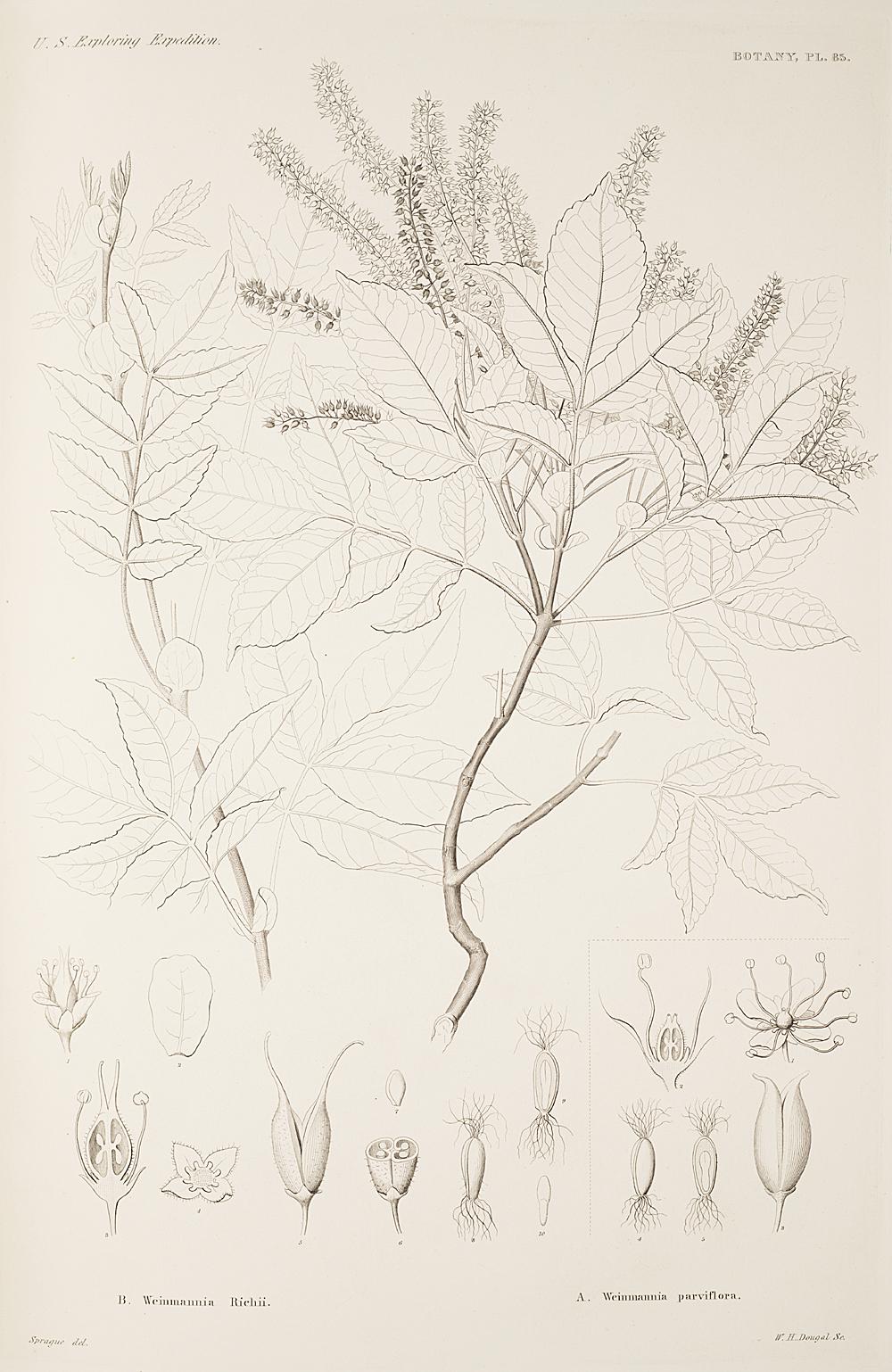 Botany, Pl. 85,  Image number:sil19-23-181b
