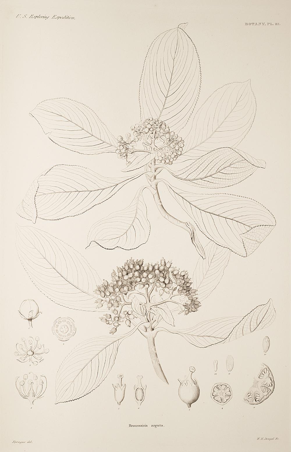 Botany, Pl. 87,  Image number:sil19-23-185b