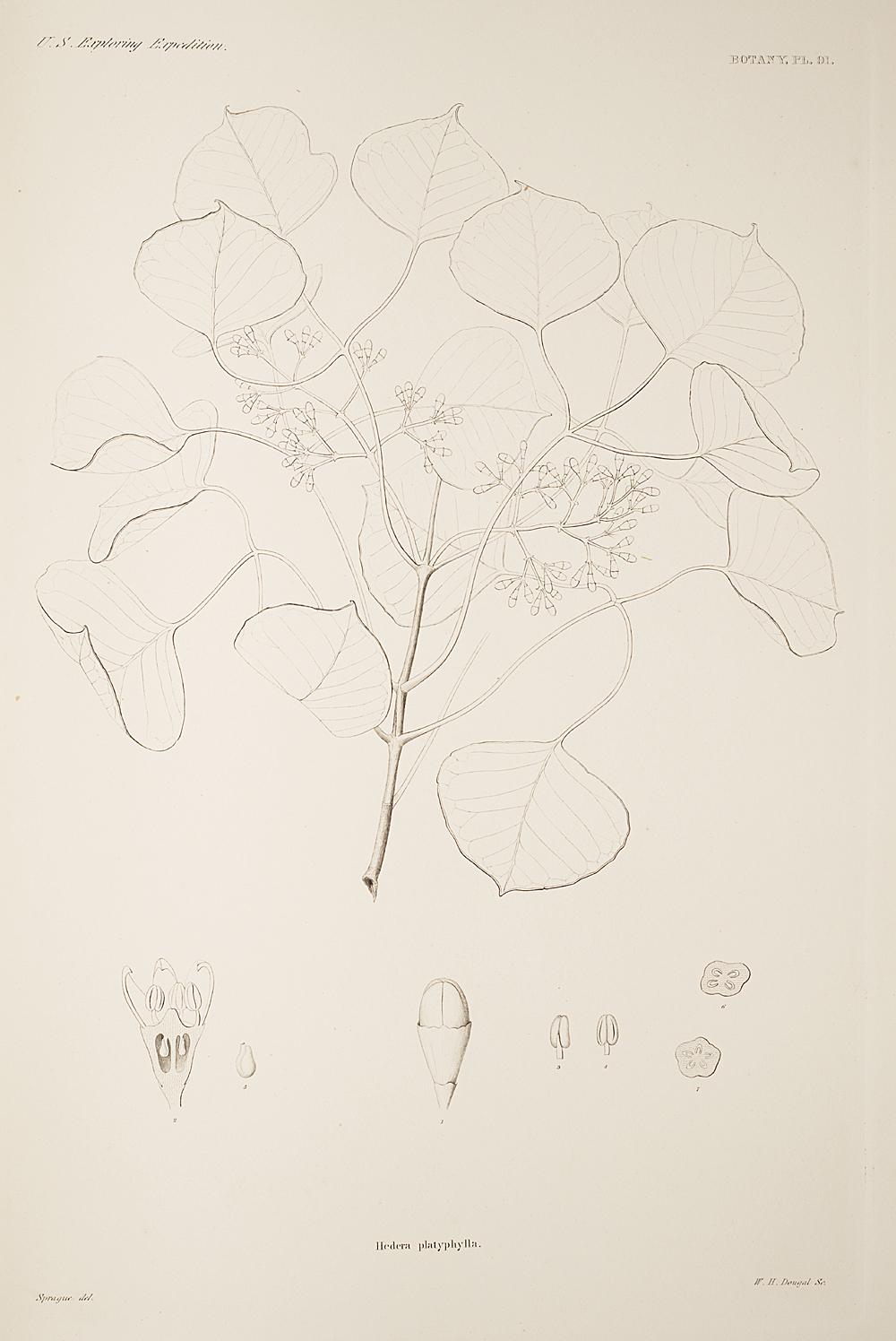 Botany, Pl. 91,  Image number:sil19-23-193b